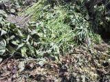収穫後すぐの枝豆の残渣